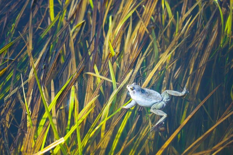 Заплывы зеленой лягушки над осокой стоковое изображение