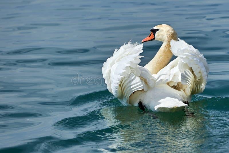 Заплывы лебедя в озере со своими крыльями подняли стоковые фото