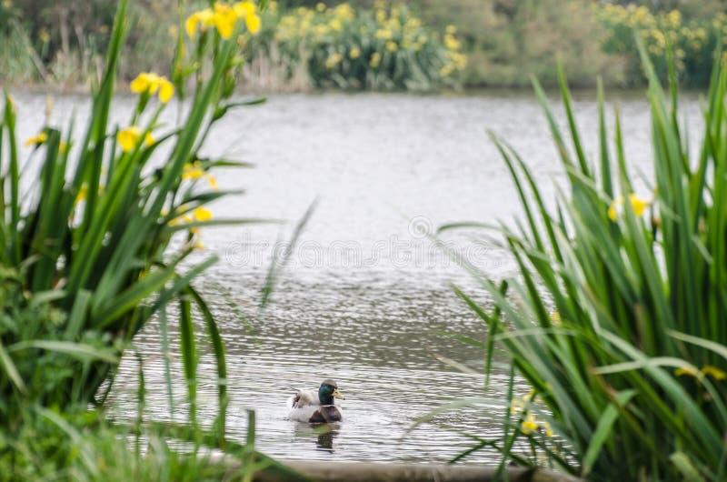 Заплывы утки за кустами стоковое фото rf
