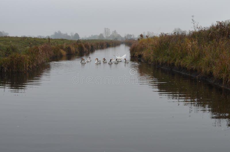 Заплыв гусынь вдоль реки стоковое фото