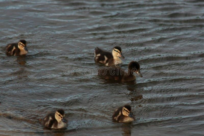Заплыв утят вдоль берега стоковое фото rf