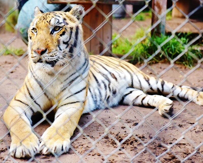 Заповедник Флорида США лачуги тигра catty стоковая фотография rf