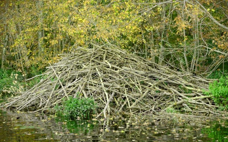 Запруда бобра в лесе весны стоковое фото rf