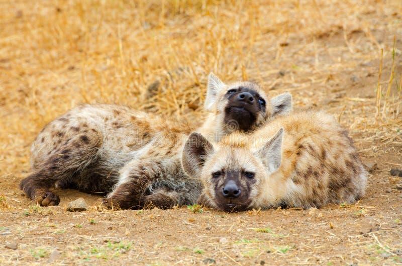 Запятнанная гиена Cubs, национальный парк Kruger, Южная Африка стоковое фото rf