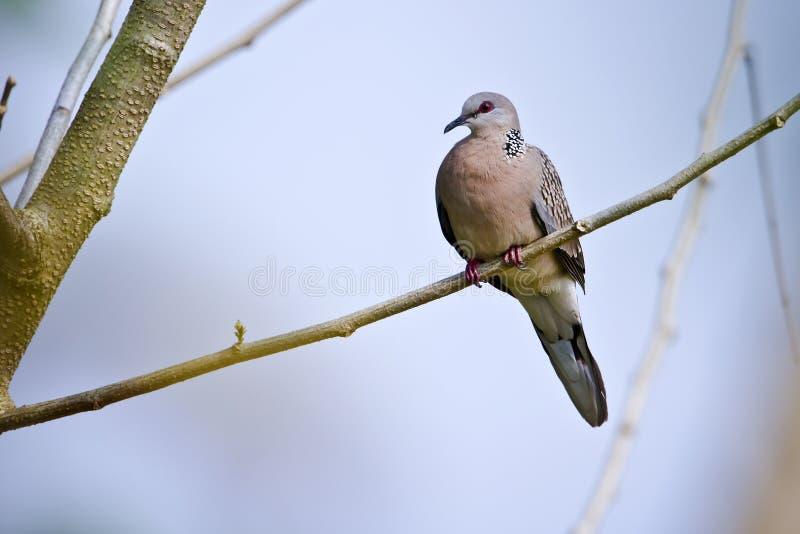 Запятнанная горлица chinensis, Terai specie птицы голубя, Непал стоковые фото