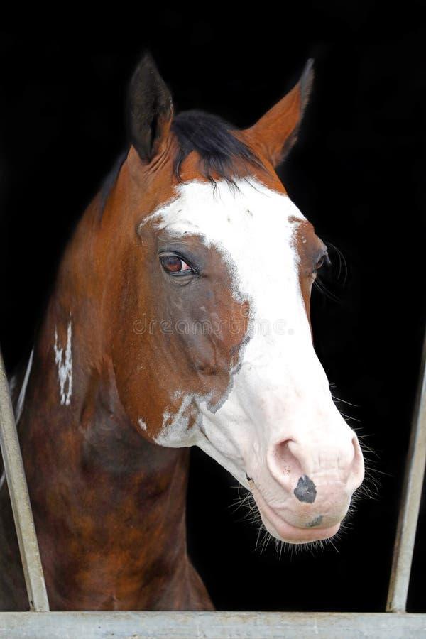 Запятнанная индийская лошадь стоковое изображение