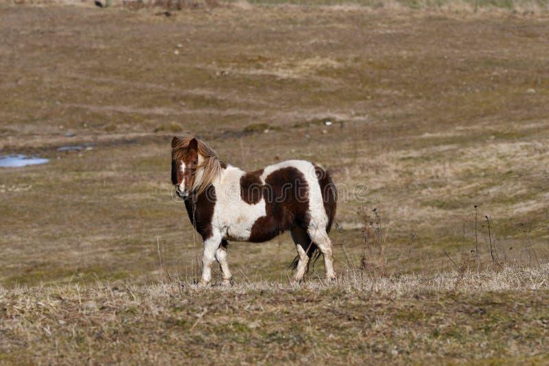 Запятнанная исландская конематка лошади идя на поле стоковое фото rf