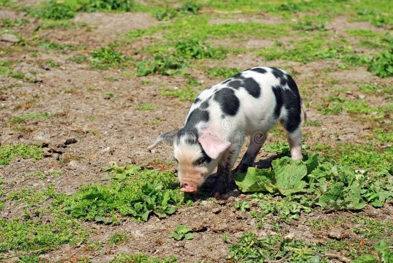запятнанная свинья стоковое изображение rf