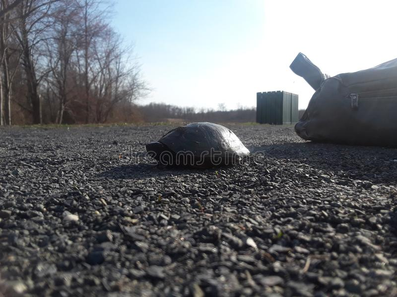 запятнанная черепаха стоковое изображение rf