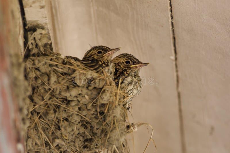 Запятнанное гнездо мухоловки
