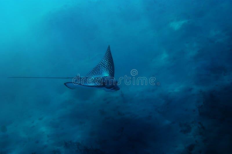 запятнанное Красное Море луча орла стоковое фото