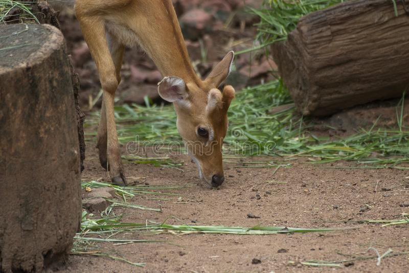 Запятнанные олени пася на поле в джунглях, зоопарк, ось, Wildlif стоковое фото