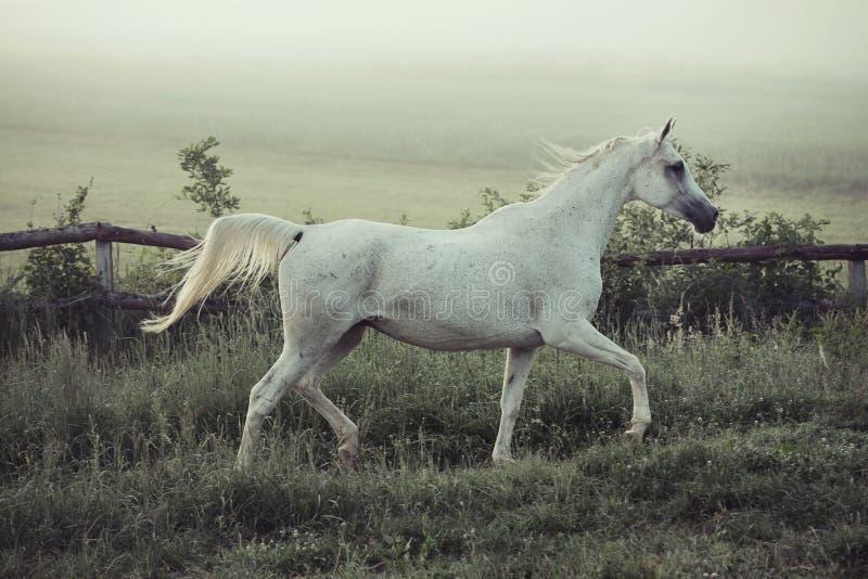 Запятнанный белый конь в бежать представлении стоковая фотография rf
