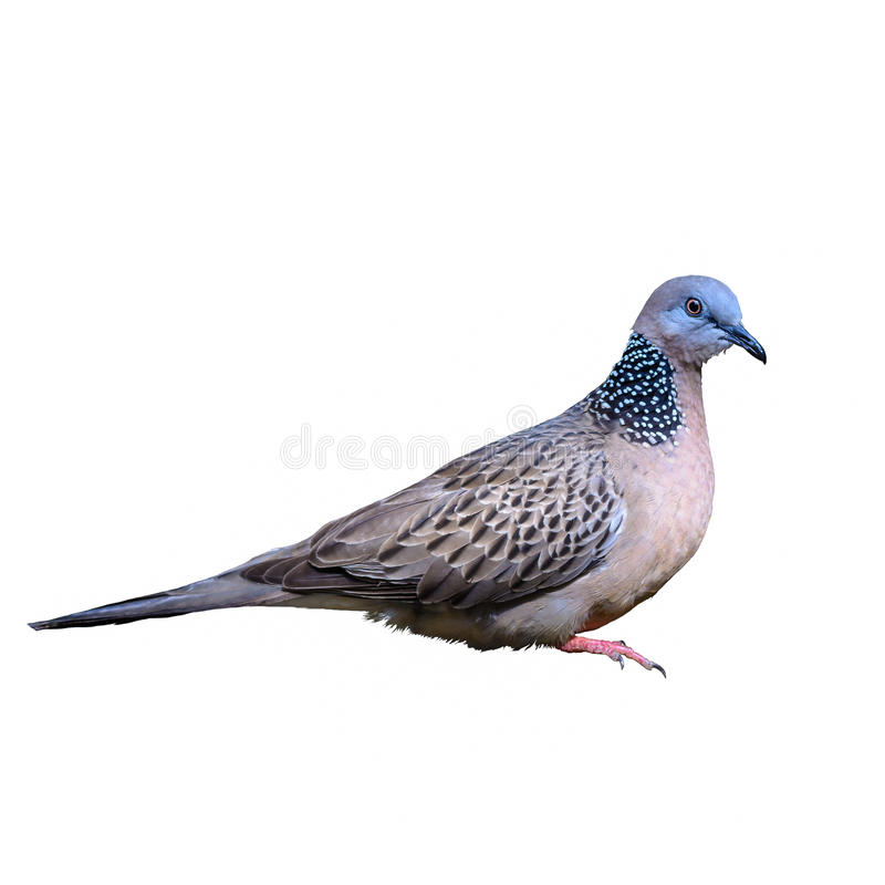 Запятнанный голубь или горлица chinensis стоковые фотографии rf