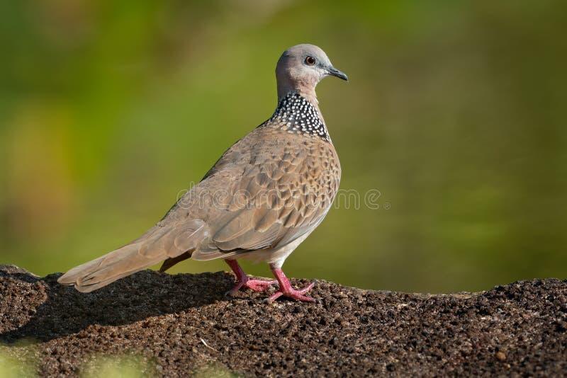 Запятнанный голубь - голубь Spilopelia горлицы chinensis небольшой длинн-замкнутый, также известный как голубь горы, жемчуг-necke стоковое фото