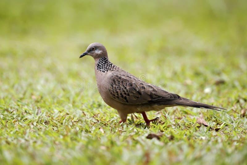 Запятнанный голубь, горлица chinensis стоковое изображение