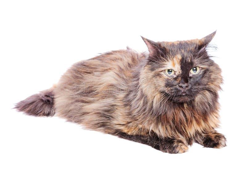 Запятнанный лежать кота стоковые фотографии rf