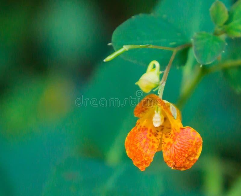Запятнанный Касани-меня-не capensis Impatiens †« стоковое изображение