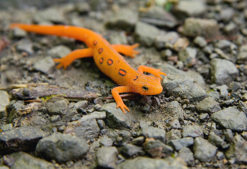 запятнанный красный цвет newt стоковые фотографии rf