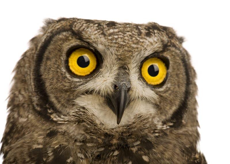 запятнанный сыч 8 месяцев орла bubo africanus стоковые фотографии rf