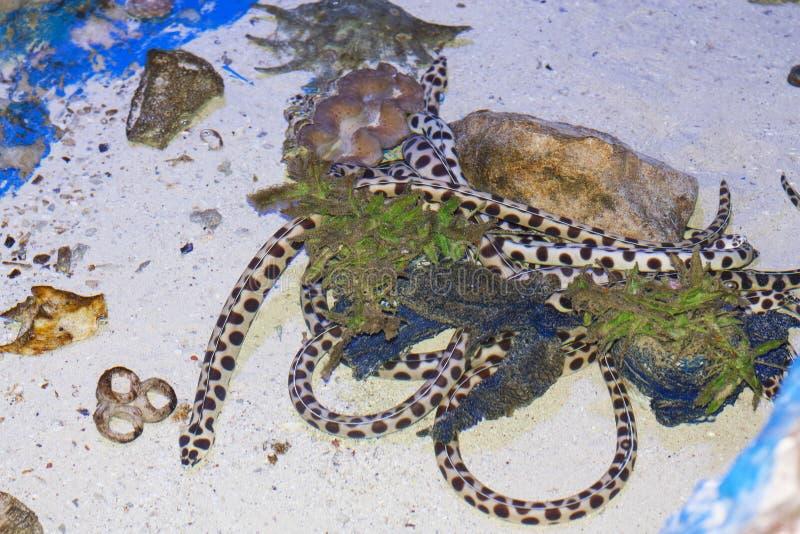 Запятнанный угорь змейки в фото Красного Моря стоковые изображения rf