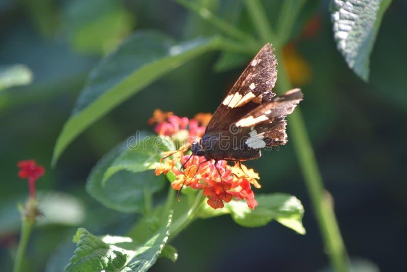 запятнанный шкипер бабочки серебряный стоковые фото
