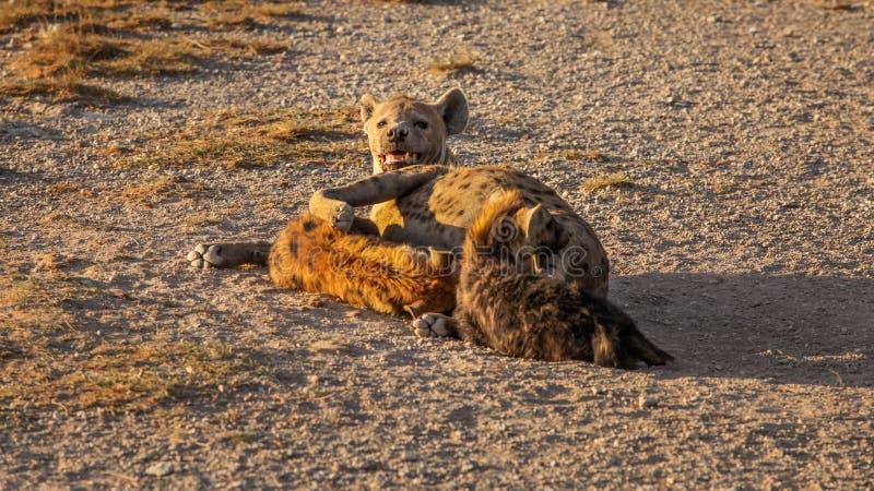 Запятнанный crocuta Crocuta гиены подавая ее новичок стоковая фотография rf