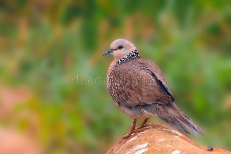 запятнанный dove стоковые изображения rf