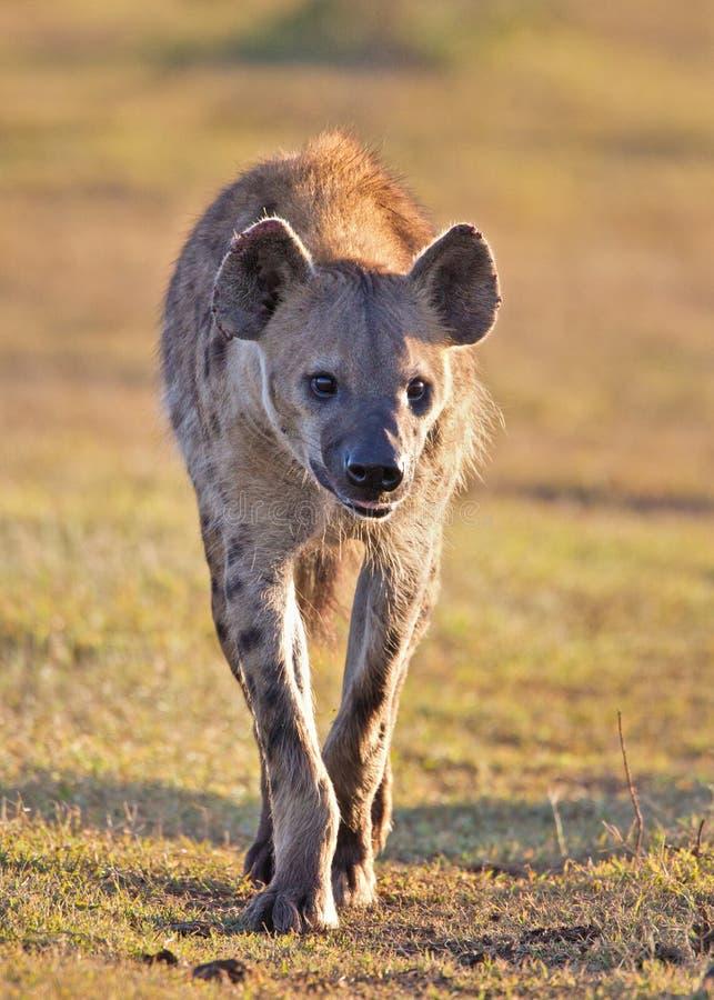 запятнанный hyena стоковое фото