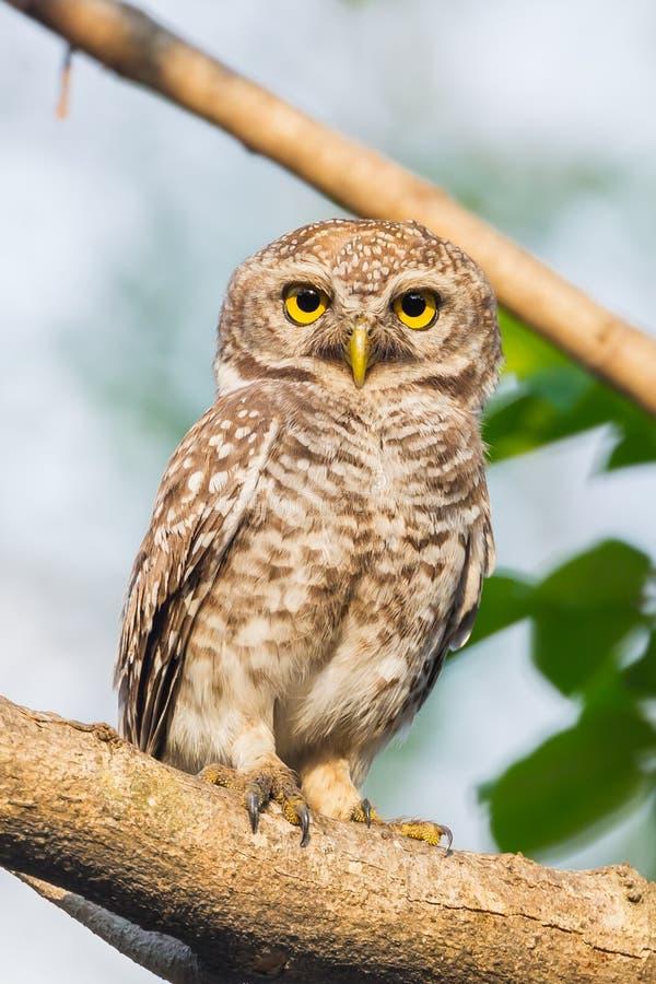 Запятнанный owlet (brama Athene) стоковое фото