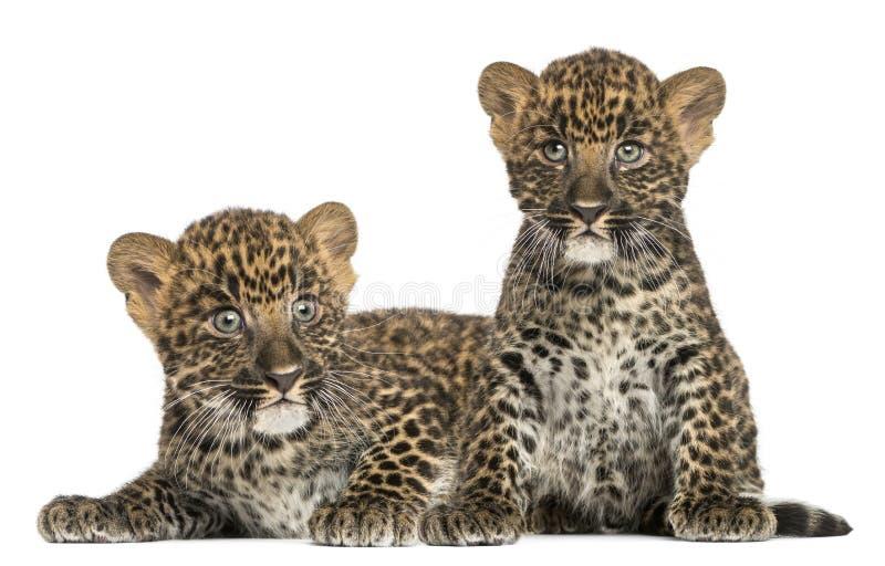 2 запятнанных новичка леопарда лежа вниз и сидя - pardus пантеры, 7 недель старых стоковое изображение