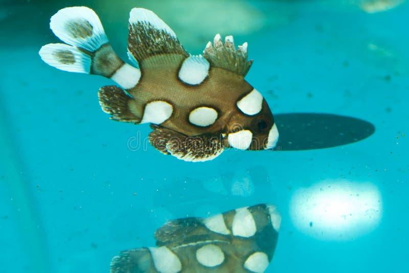 Запятнано, Clownfish, арлекин Sweetlips стоковое изображение