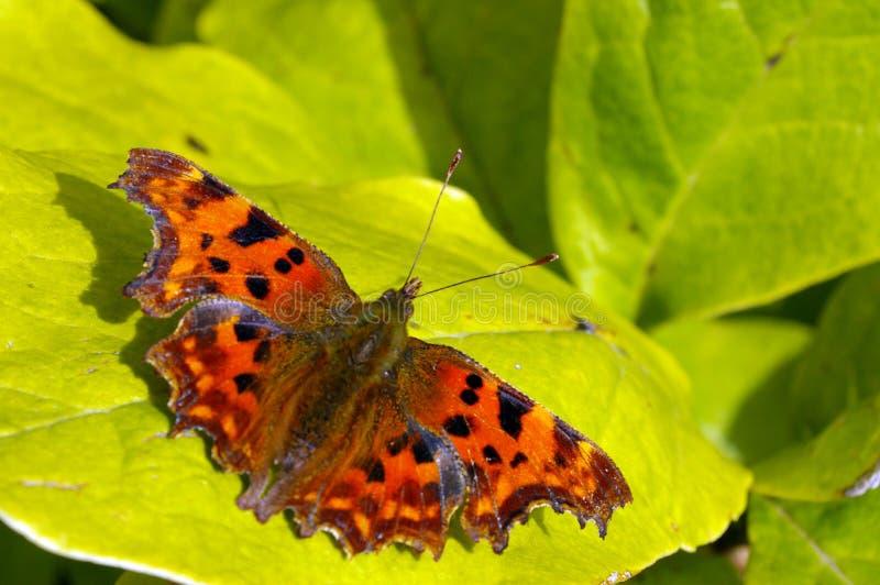 запятой 16 бабочек Стоковые Фото