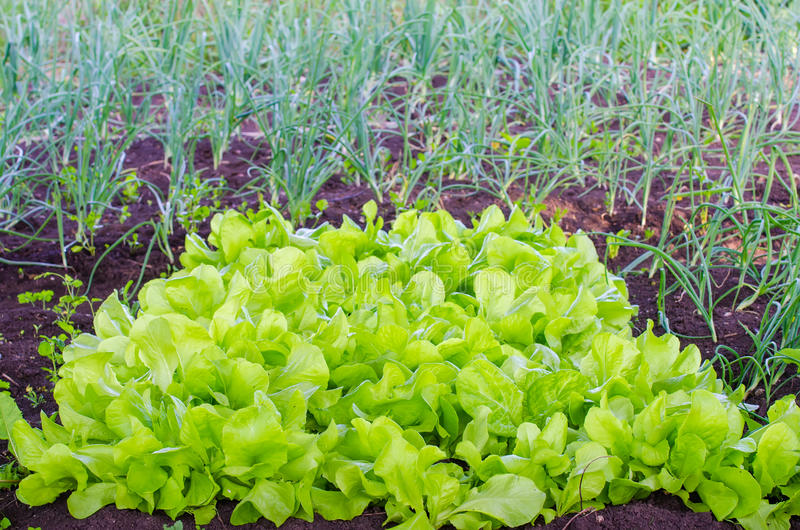Заплата салата с свежим зеленым взглядом стоковые изображения rf