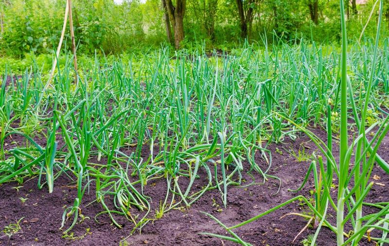 Заплата лука в саде с свежим зеленым цветом стоковая фотография rf
