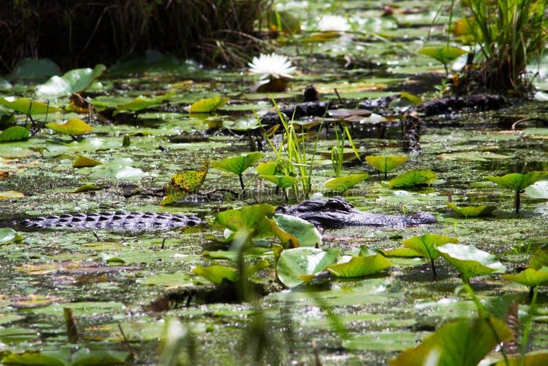 Заплывание аллигатора стоковое фото