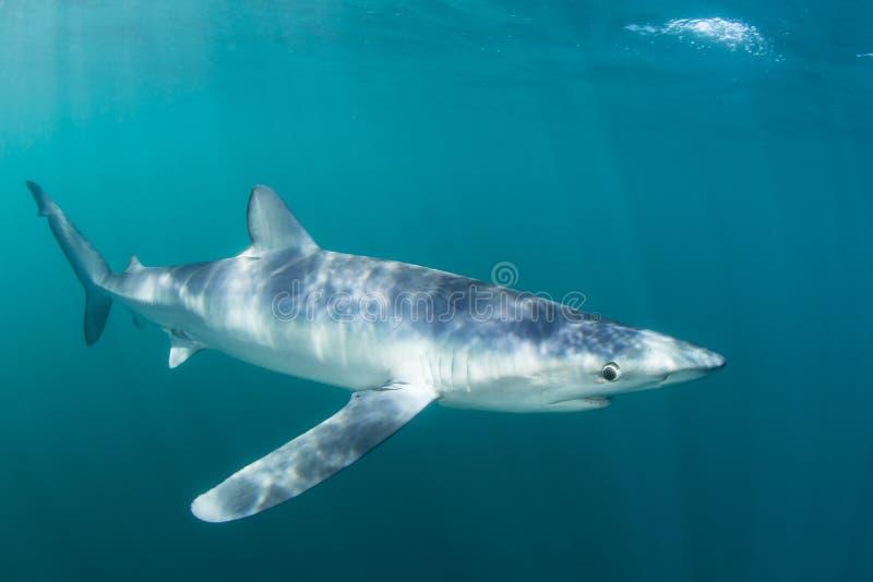 Заплывание голубой акулы в Sunlit водах стоковое изображение rf