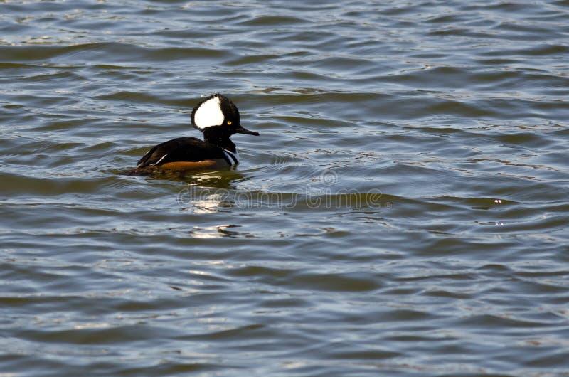 Заплывание с капюшоном Merganser в голубом озере стоковое изображение rf