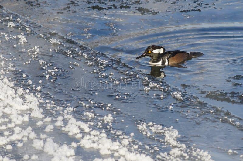 Заплывание с капюшоном Merganser в холодном слякотном реке зимы стоковые изображения rf