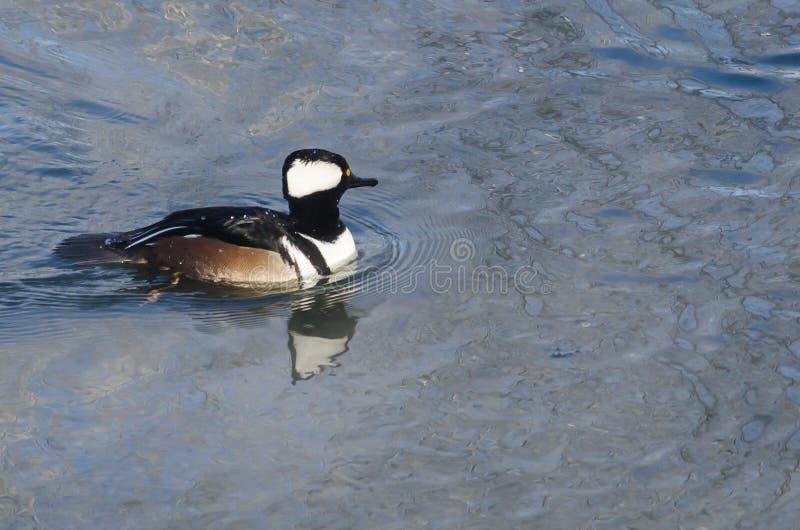 Заплывание с капюшоном Merganser в холодном слякотном реке зимы стоковая фотография rf