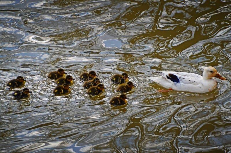 Заплывание утки со своими утятами стоковое изображение rf