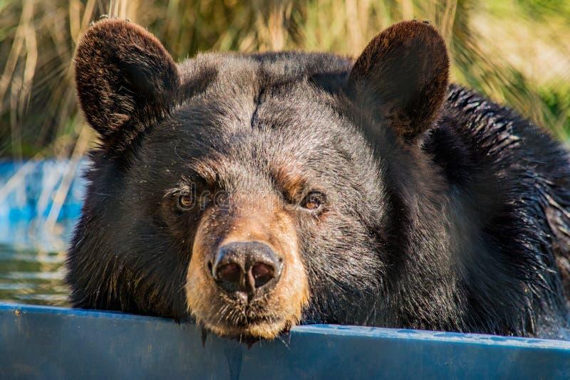 Заплывание черного медведя в бассейне стоковая фотография