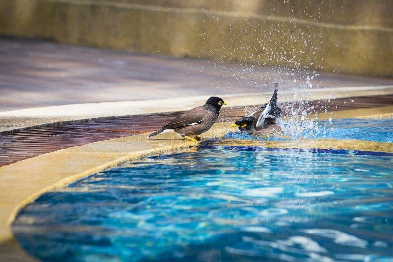 Заплывание mynah птиц в бассейне конец вверх Таиланд стоковое фото rf