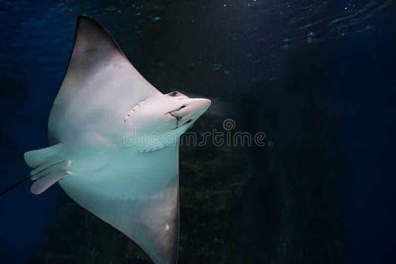 Заплывы хвостоколового в аквариуме стоковые изображения