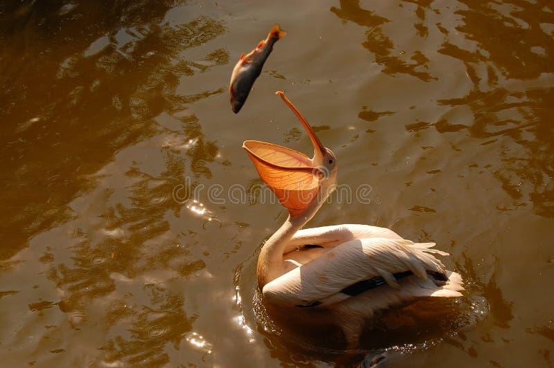 заразительный пеликан рыб стоковые фото