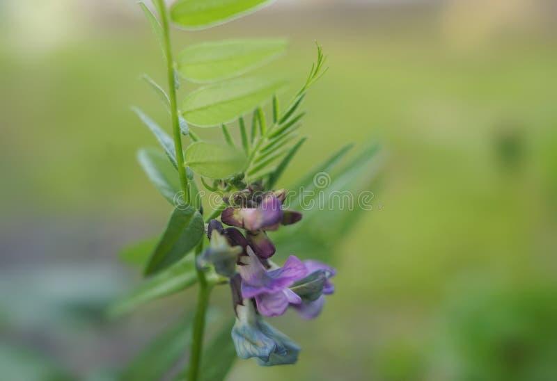 засадите голубой фиолетовый сад макроса конца-вверх лист зеленого цвета цветка стоковое фото