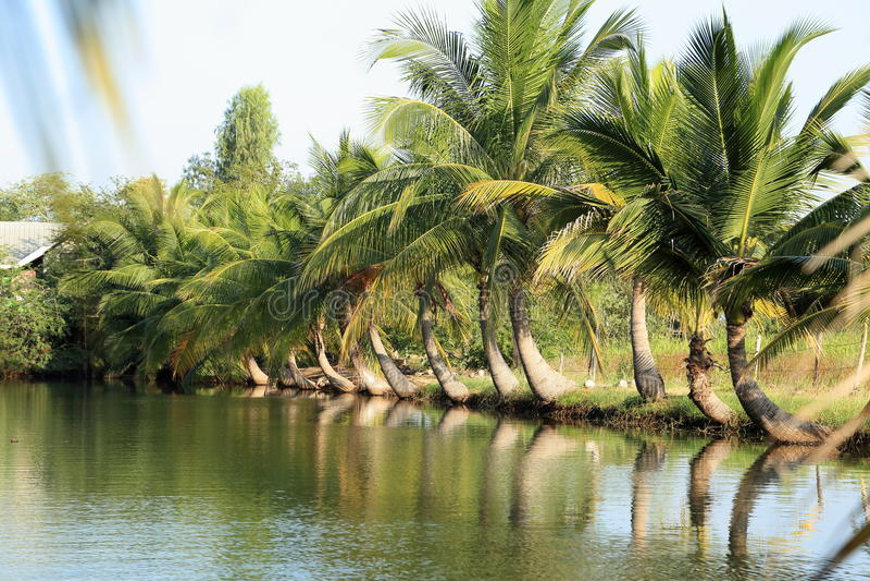Засаженный кокос стоковые изображения