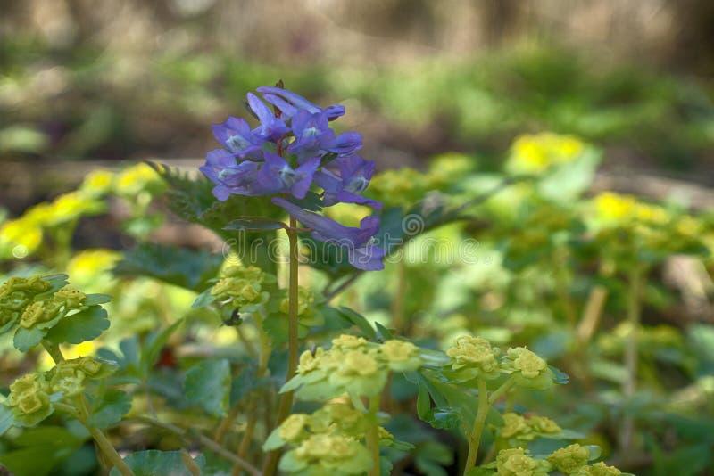 Засаживает эфемериды Birthwort (solida Corydalis) стоковые изображения