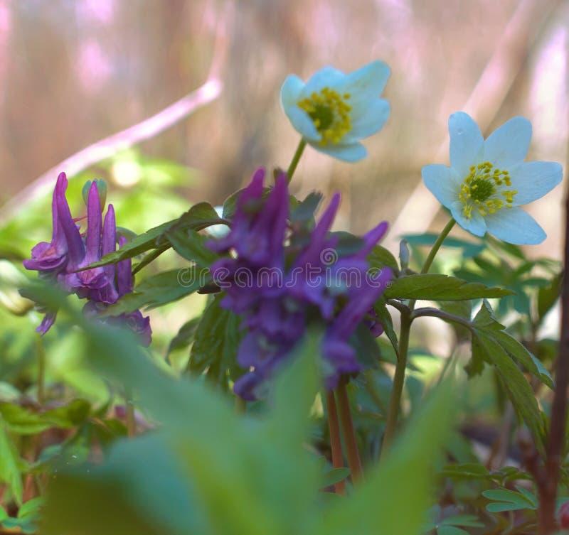 Засаживает эфемериды Birthwort (solida Corydalis) стоковые фотографии rf