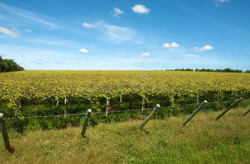 Засаживать виноградины стоковые изображения